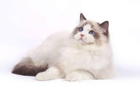 猫ちゃんほすい お迎えしたい  今気になってるのは ラグドールちやん。 https://t.co/J8zldnP3r3