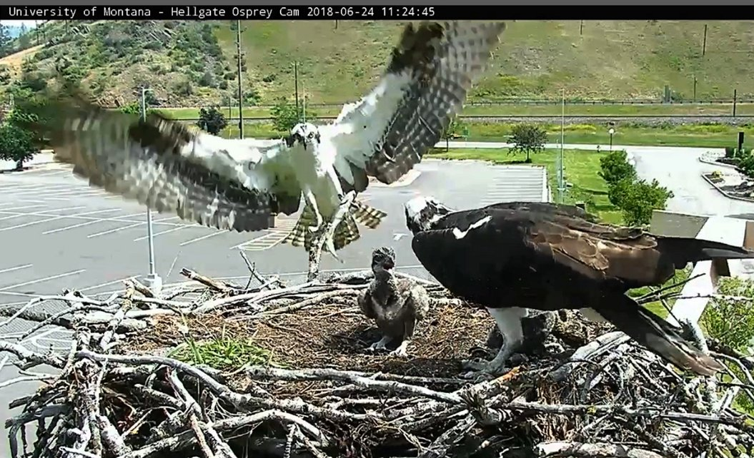 11:24 @HellgateOsprey  Fish Delivery Bird inbound with lunch <br>http://pic.twitter.com/qgPzT699ua