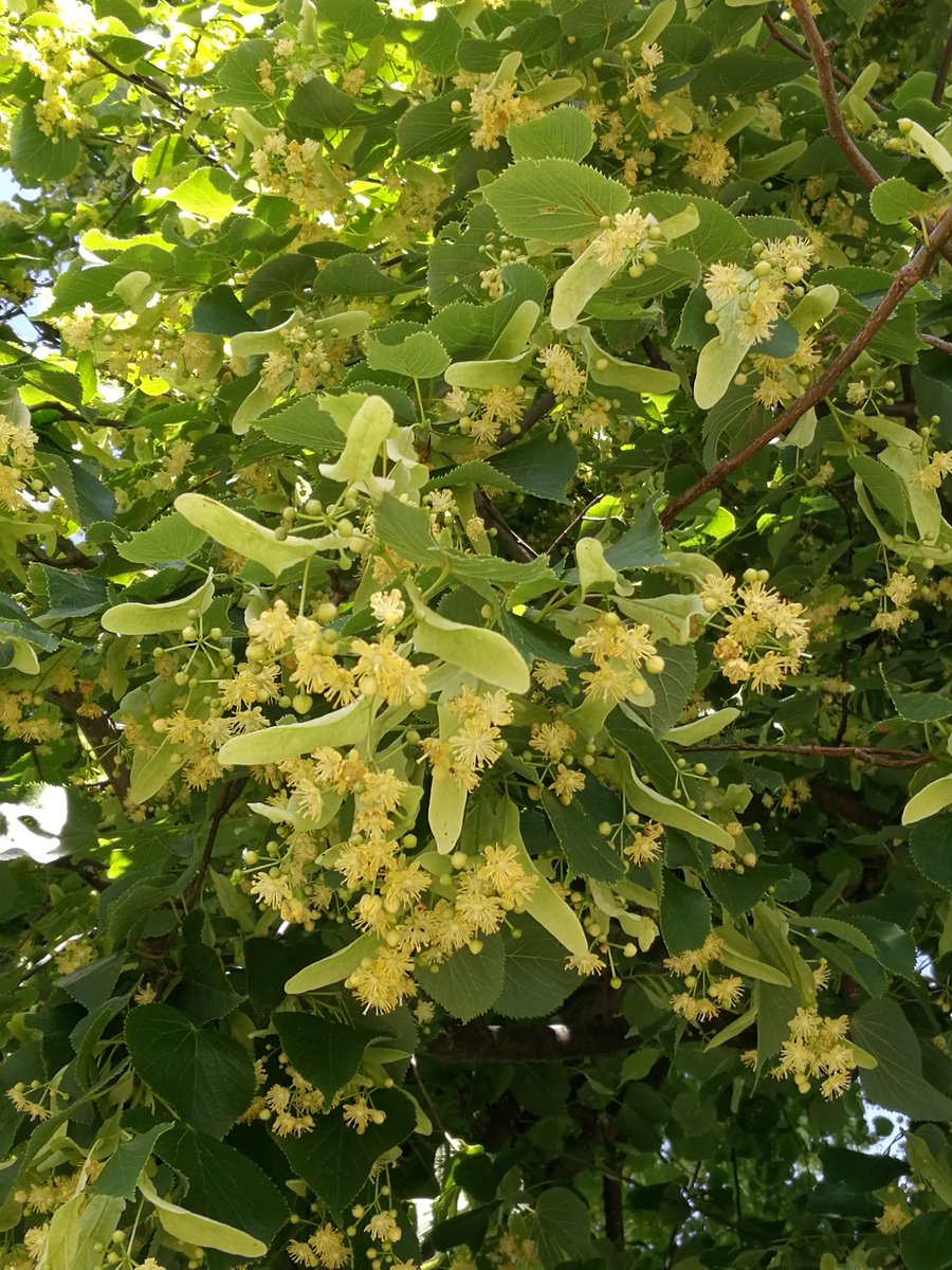 Flowering lime trees producing v. audible drone from all the bees &amp; other pollinators; what a buzz!#wildflowerhour #Insectweek @amentsoc @BSBIbotany<br>http://pic.twitter.com/akqG00b7y9