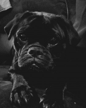 🆘TOBY #Lost #ScanMe Black Pug X Jack Russell Male Hollycroft Avenue #Breightmet #Bolton #BL2 PLEASE SHARE. #BL1 #BL3 #BL4 doglost.co.uk/dog-blog.php?d…