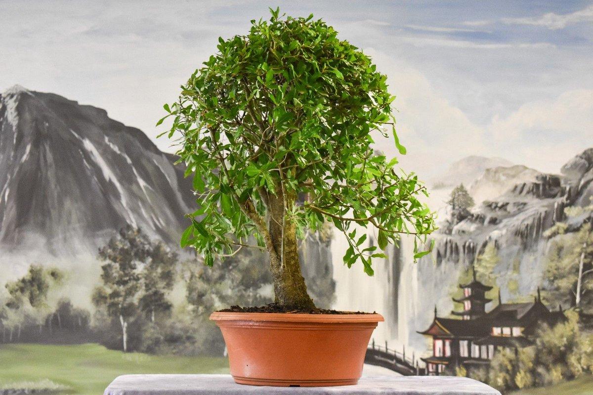 #Large #STOCK #Laurel #OAK Pre-#Bonsai #Tree with a #Great #Nebari! -  https:// is.gd/jYs6if  &nbsp;    #Juniper #JuniperusBrevifolia #JuniperusPhoenicea #Prebonsai<br>http://pic.twitter.com/1nmylELqWL