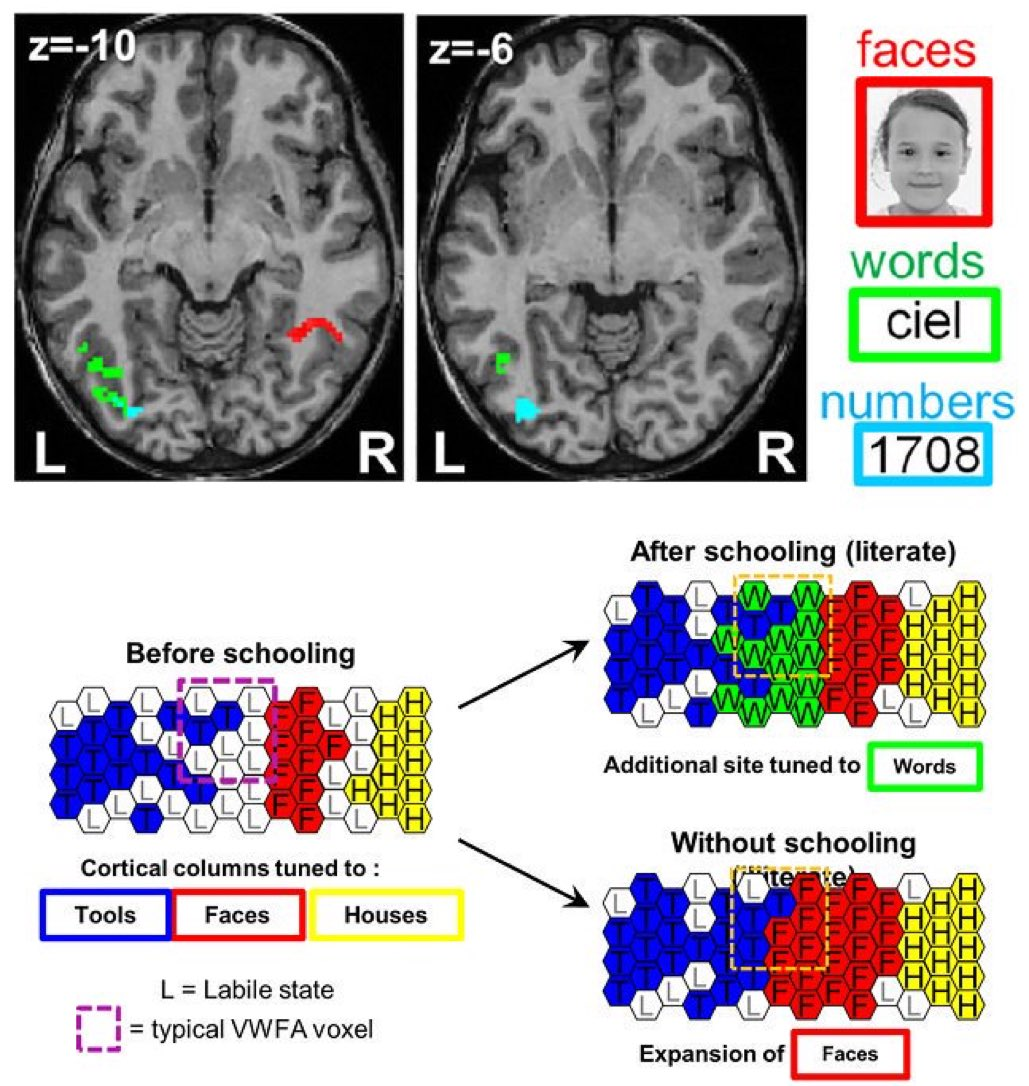 The 'reading brain' | VWFA | is gradually recruited from areas initially related to tool and face recognition | fMRI study of 6-yr-old kids | PLOSBiology plos.io/2FlPv3w