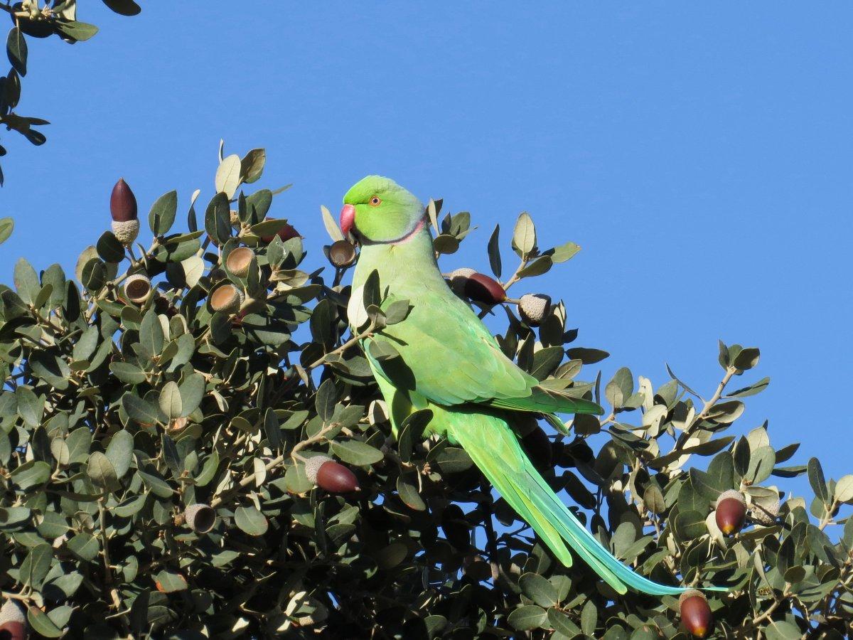 New on #theBOUblog: Legal imports and feral parakeets in Spain ow.ly/mxx130kCfPs @SEO_BirdLife @ArdeolaJournal @Serika_Izumi #ornithology