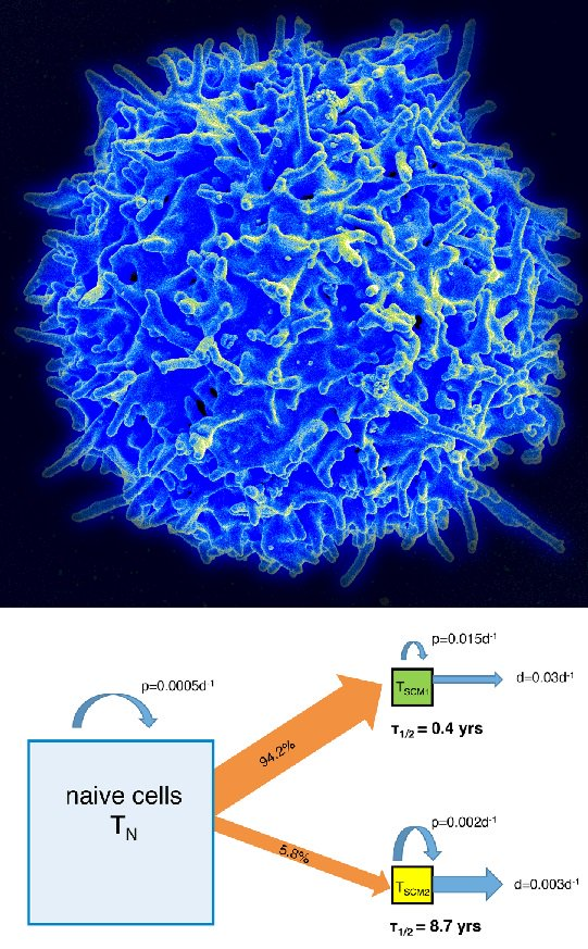 How does our #immune system remember #pathogens it encountered decades earlier? Study shows this memory is dynamically maintained by a dedicated population of stem cell-like memory #TCells (TSCMs) #PLOSBiology plos.io/2yHpgpo
