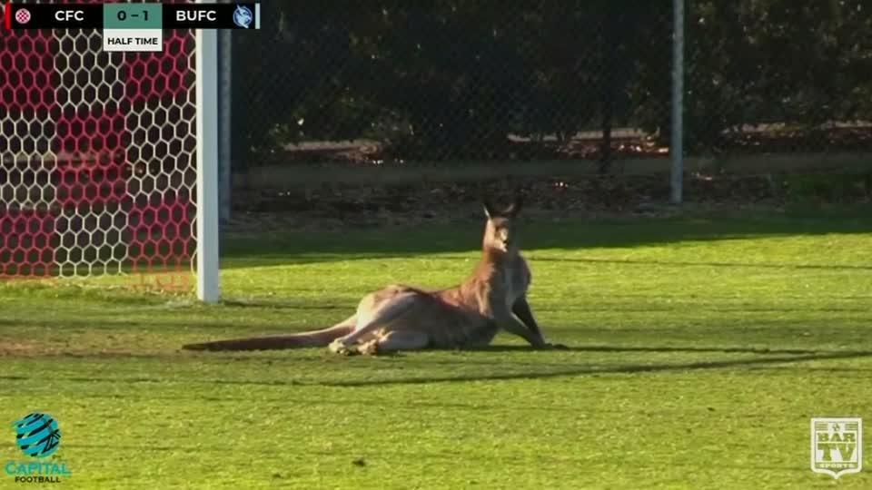 オーストラリアでサッカー場にカンガルー乱入(25日)