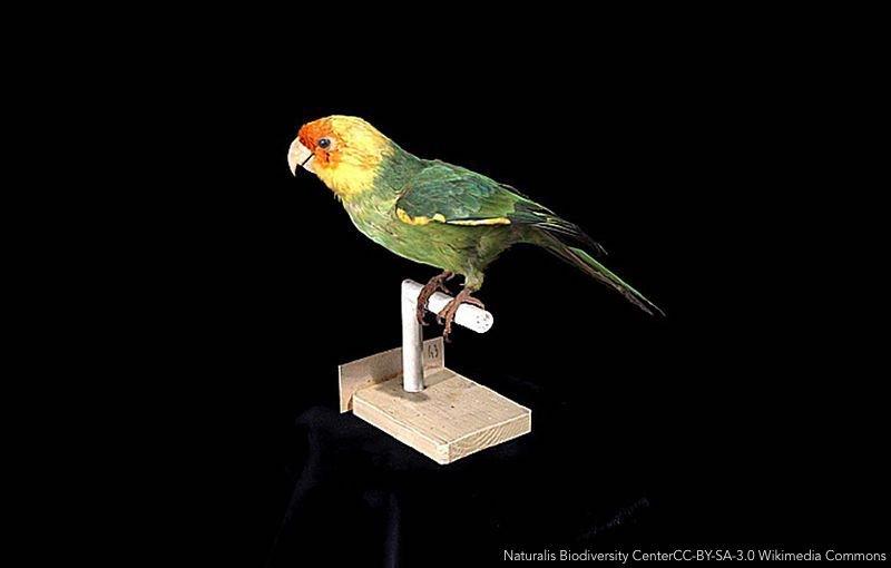 Georeferenced sighting and specimen occurrence data of the extinct Carolina Parakeet (Conuropsis carolinensis) from 1564 - 1944 ow.ly/r0BC30kB5LL   #ornithology   @KRBurgio Biodiversity Data J