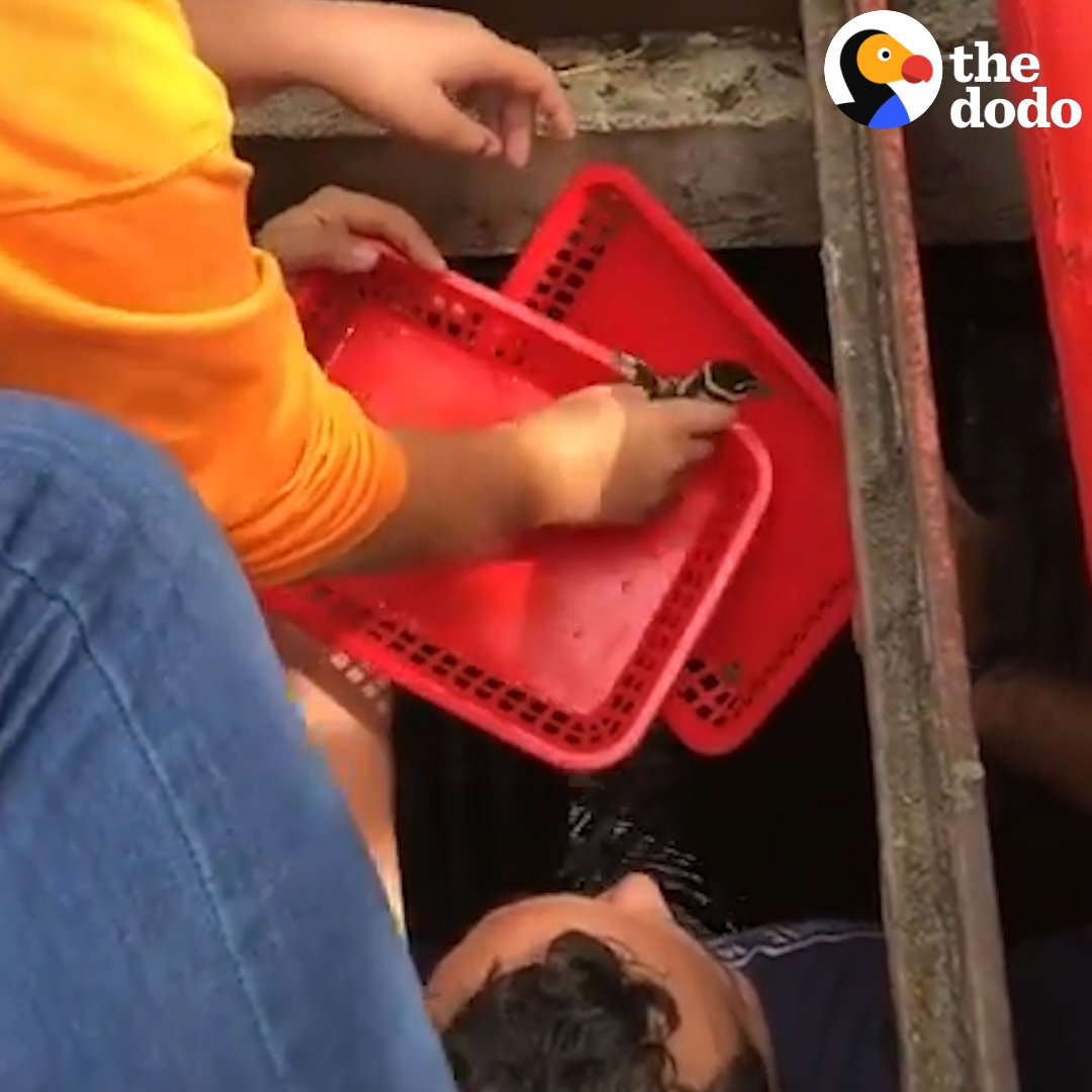 When these baby ducks tumbled down a drain, so many people came to save them — one guy even climbed all the way down! 💞🐥