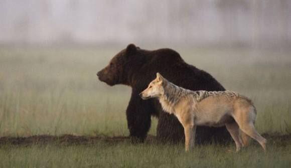【最強】友情で結ばれた熊と狼のタッグがたくましすぎる‼︎  フィンランド北部でヒグマとハイイロオオカミの意外な友情が確認された。この2匹のコンビは共に餌を分け合い、午後8時から午前4時の活動中は毎日共に過ごすしているそうだ。
