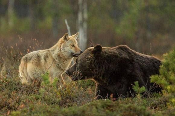 種を越えた友情!! 狼と、ある大型動物との驚きの共同生活が発見される!!