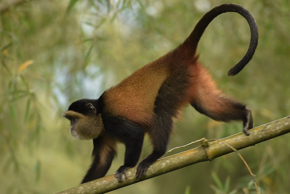 Golden Monkey, Volcanoes Natl. Park, Rwanda @ASUBeingHuman @HumanOriginsASU