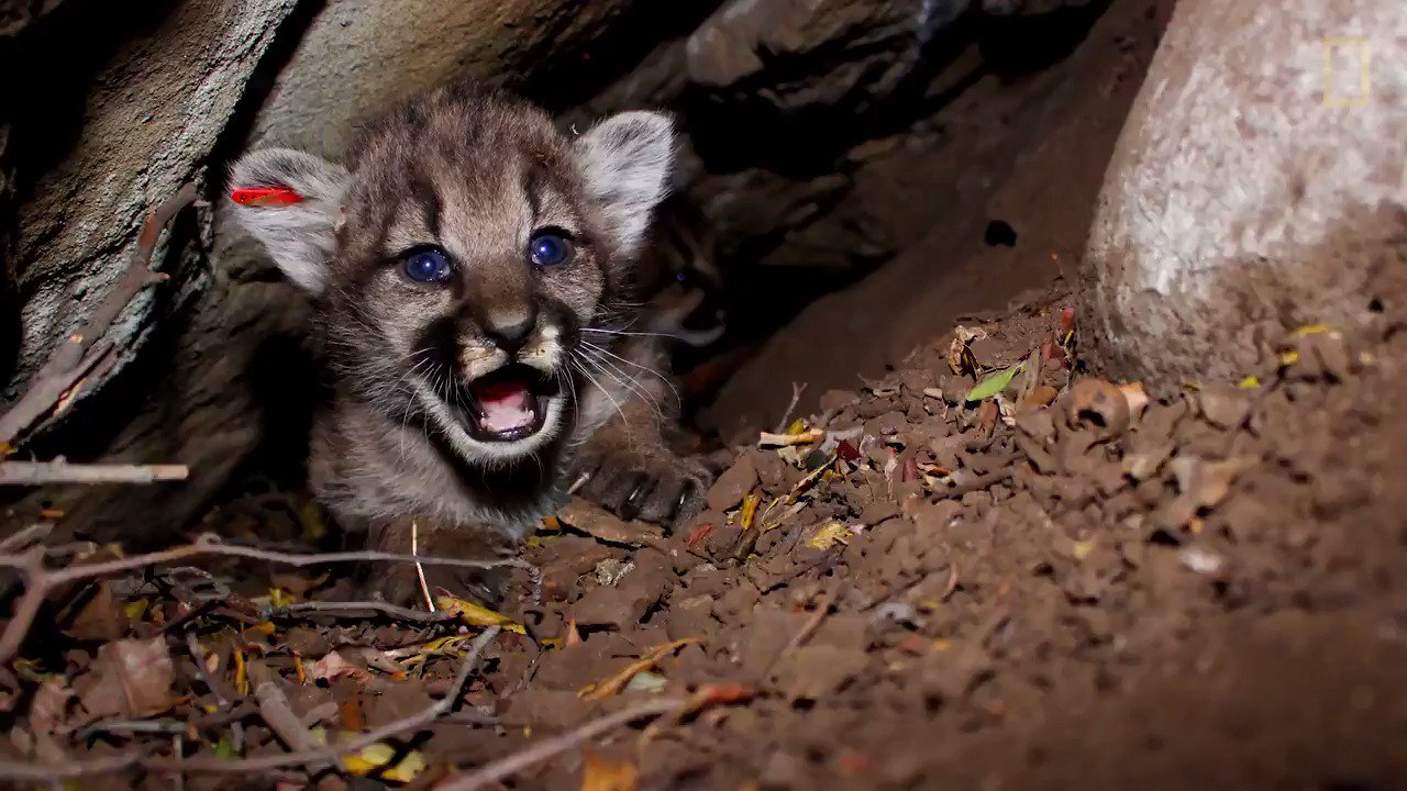 Take a peek inside a litter of four mountain lion kittens—and prepare to have your heart melt https://t.co/LlBamDpsdv