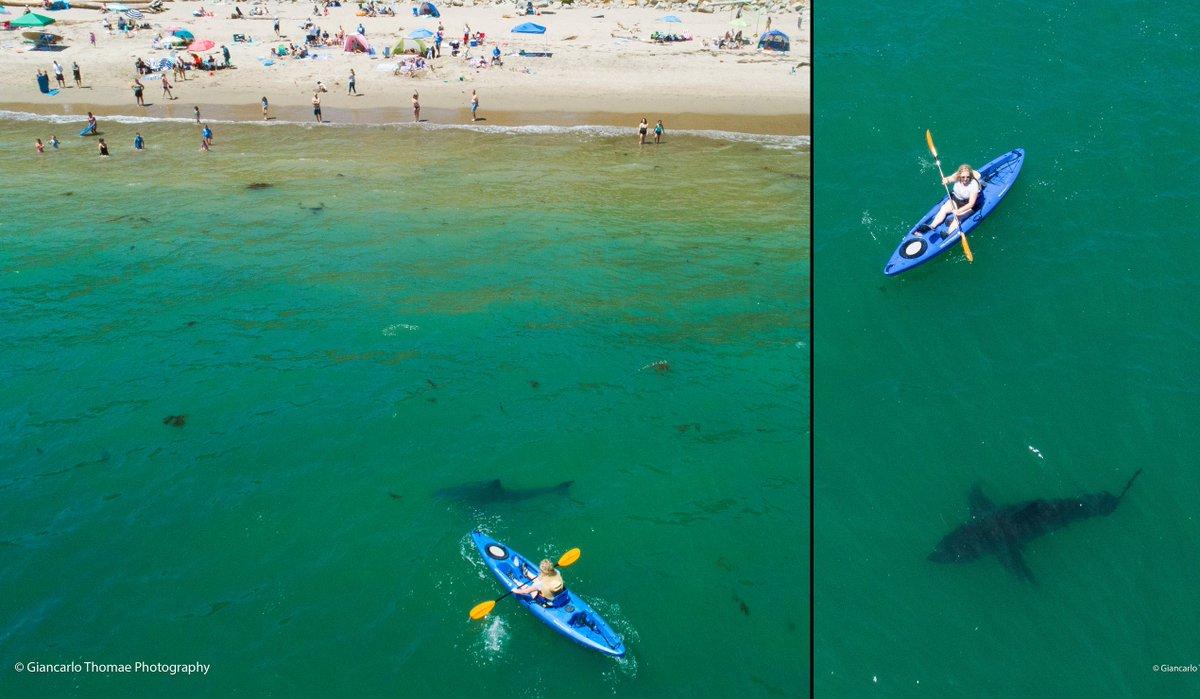 ksbw action news 8 on twitter monterey bay shark experts report