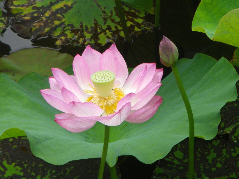毎年7月に見ごろをむかえる蓮。万博記念公園や長居植物園など、大阪各地で見ることができますよ。いつもより少し早起きし、美しく咲く蓮の花に会いに行きませんか?   蓮の見ごろ