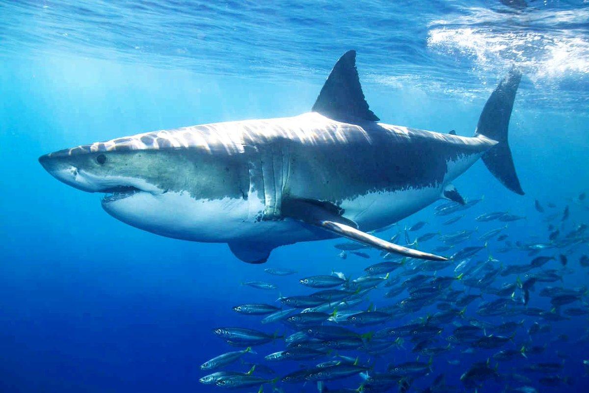 картинки про больших акул каждая
