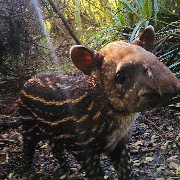Baby Tapirs (@babytapirs)