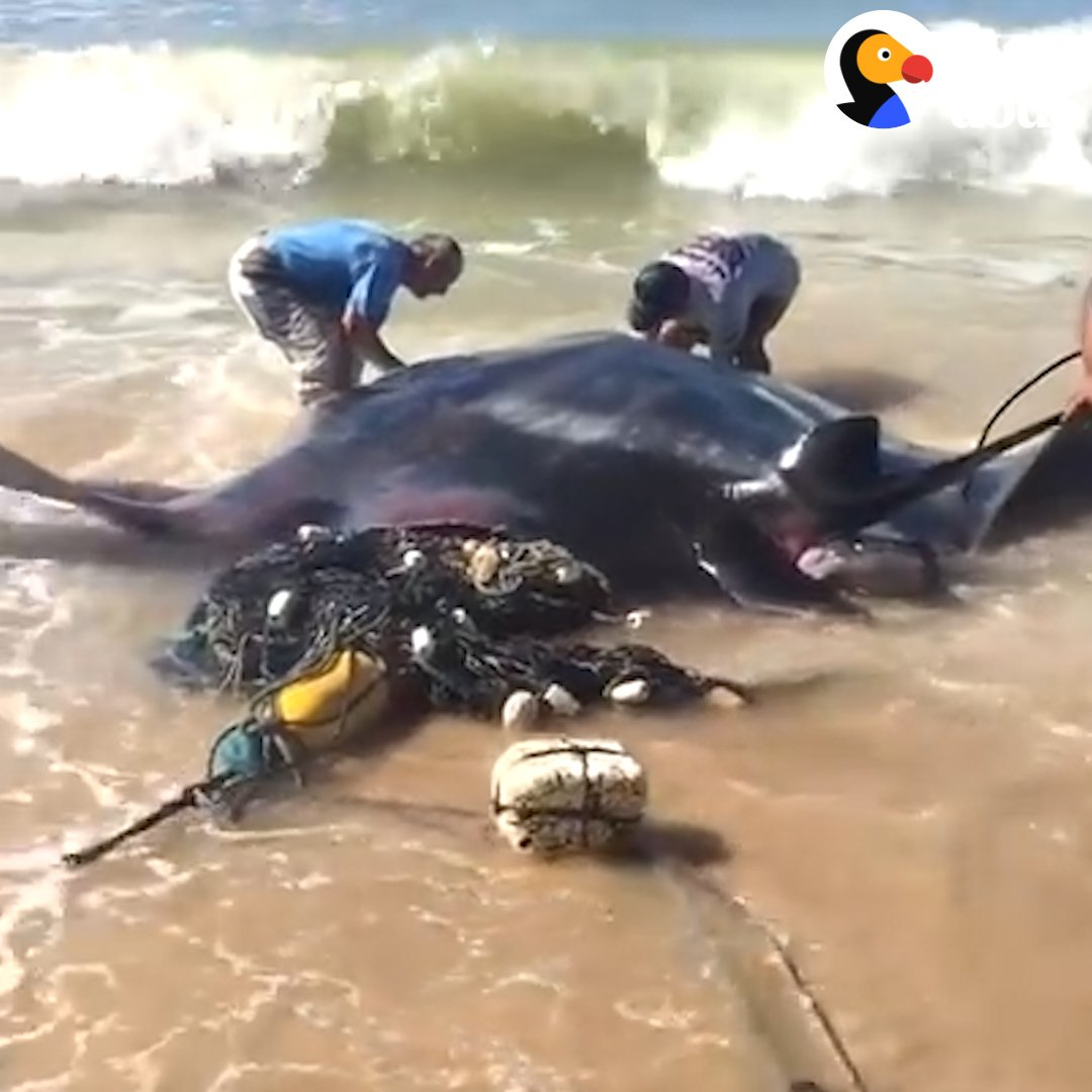 When this giant manta ray washed up on the beach in a fishing net, everyone just stood around taking pictures until one guy took charge ❤️