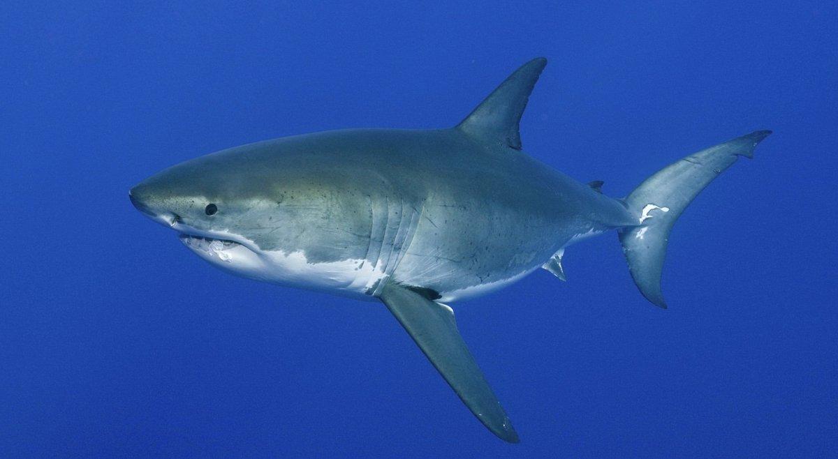 #Balearen: Weißer #Hai südlich von #Mallorca gesichtet! https://t.co/BgAwuZAFqn