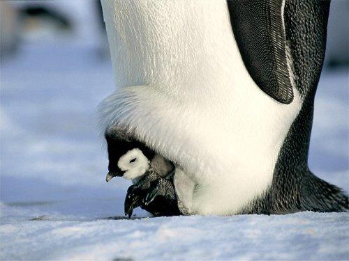 【鳥は天敵から子供を守る】  鳥は自分の子供を天敵から守る為に 自分の翼の中に子供たちを 収納する傾向があります。