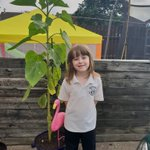 @woodlandsinfant  quick update on Lennon and his sunflower he got from school, it came out of school at 17cm and is now a massive 150cm just shy of 5ft Hopefully we will see the flower soon ✌🤞🌻🌻🤞✌