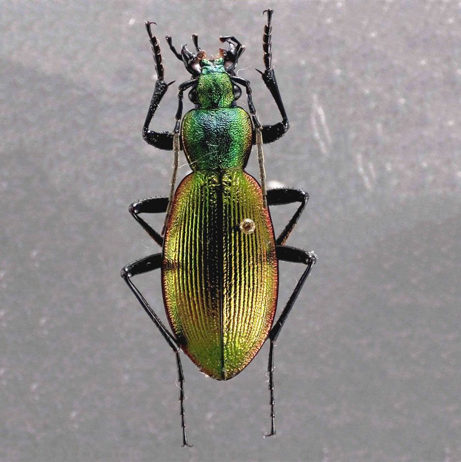 This dazzling insect is the Chilean magnificent beetle. Around 1-2 inches long, these beetles can range greatly in shape & color, displaying brilliant blues, greens, browns, or reds. 🌈