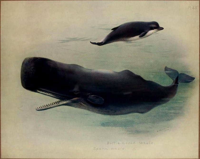 #Whales for #WildlifeWednesday! Northern bottlenose whale (Hyperoodon ampullatus) and sperm whale (Physeter macrocephalus). #SciArt by Archibald Thorburn for his British Mammals, Vol. 2 (1920-21). Contributed to #BHLib by the @FieldMuseum Library: s.si.edu/2N8B1HL