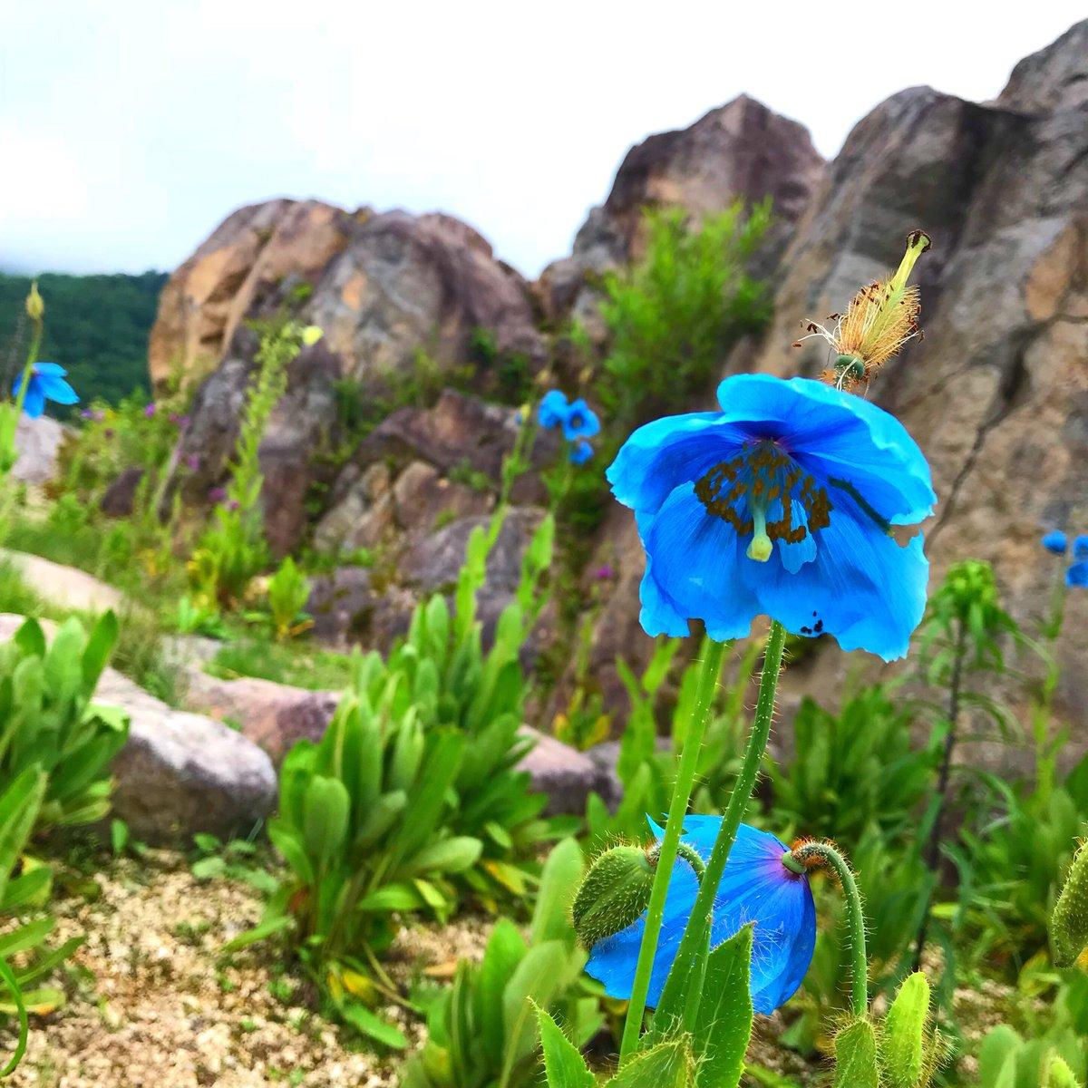 ヒマラヤ の 青い ケシ