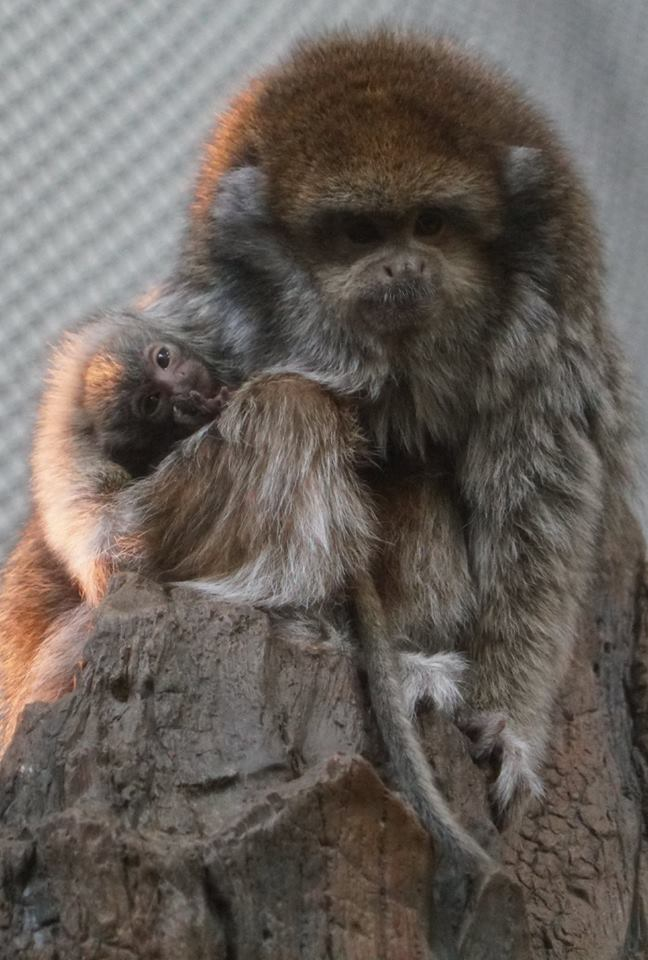 Looking for a pick-me-up? Here are some photos of the titi monkey baby. #WhenINeedAPickMeUp #dayattheMNZoo #babyanimals<br>http://pic.twitter.com/bJ8lfYCtOI