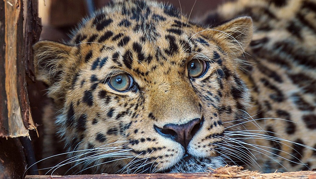 Котята дикого дальневосточного леопарда впервые за 60 лет родились в неволе https://t.co/urXLFZERRY