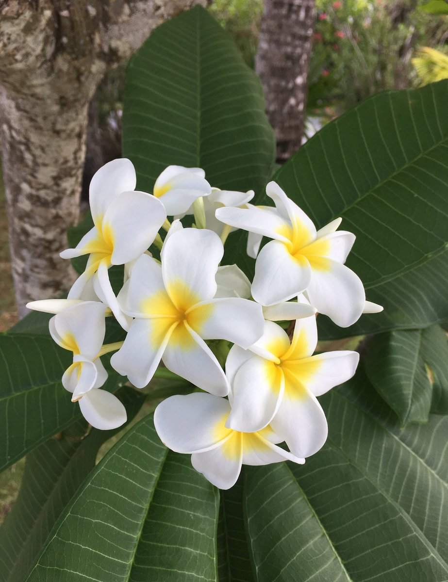 Skirkwalsh on twitter plumeria blooms scotland cay the bahamas the flowers often used for making traditional hawaiian leis flowerreport httpstctoyz7y2ps izmirmasajfo