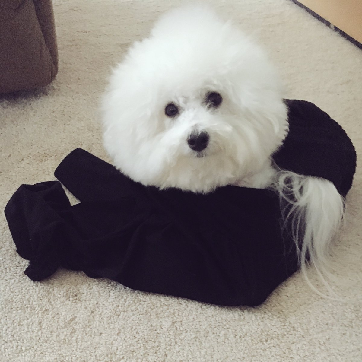 小さい鞄や箱が大好きすぎるプンバ氏ですが、もう狭ければ何でもいいらしい🧐 飼い主が部屋着のズボンを履こうとしたら履き口から入っていきしかも落ち着くのか出てこない('、3_ヽ)_