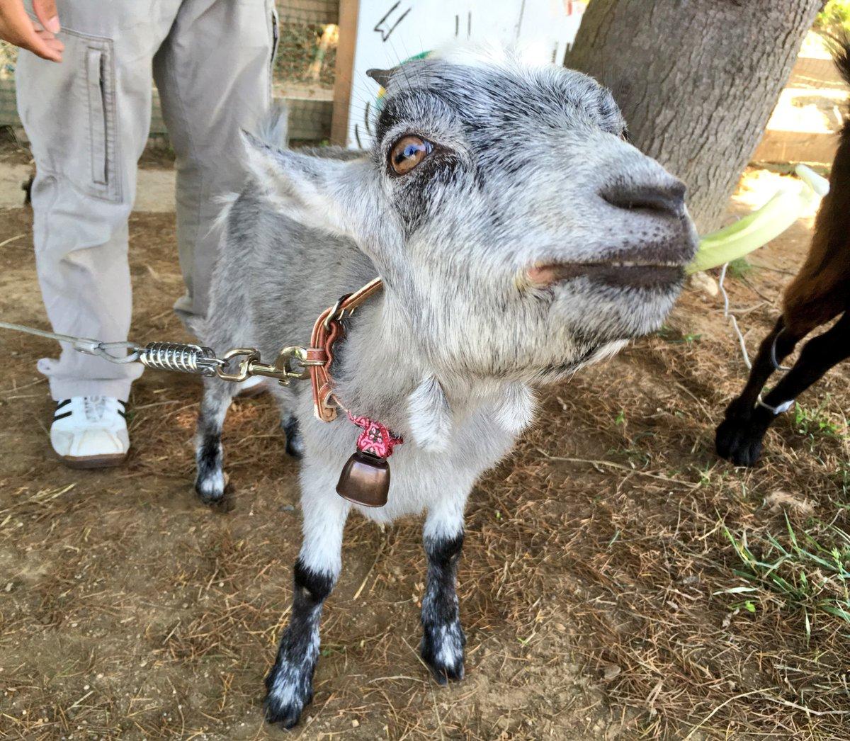 東北工大のミニマドンナきなこがヤギプロジェクトを卒業し、山形県のあおぞら幼稚園へと出発しました☀️  あん子とくろみつも別れを惜しんでたくさん鳴いていました😢😢 きなこ、向こうでもお幸せに...😭