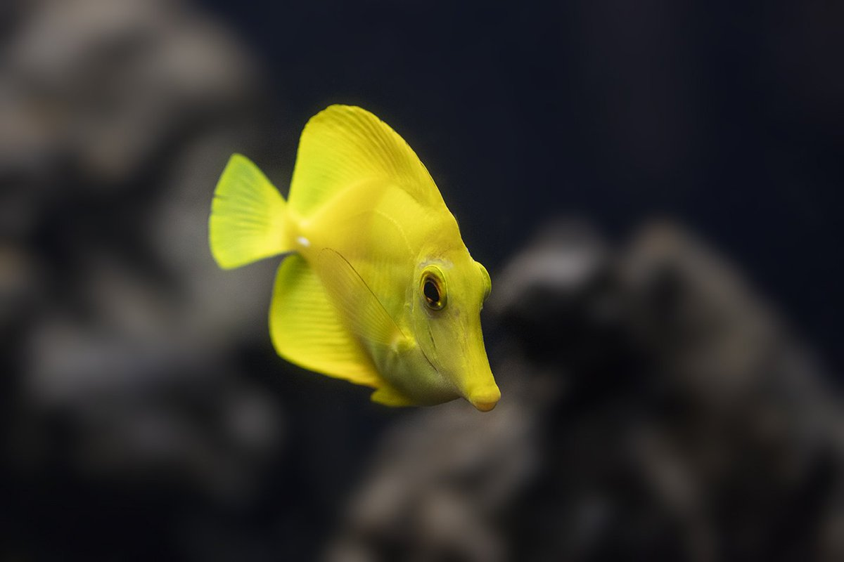 shedd aquarium on twitter the virbant yellow of the yellow tang