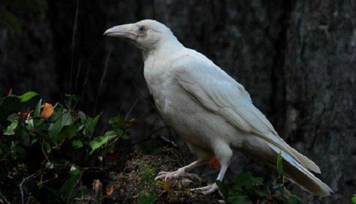 случился редкая белая ворона фото кукурузы