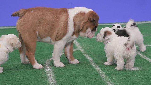 【もふもふ】「子犬によるサッカー大会」W杯の裏で動画配信