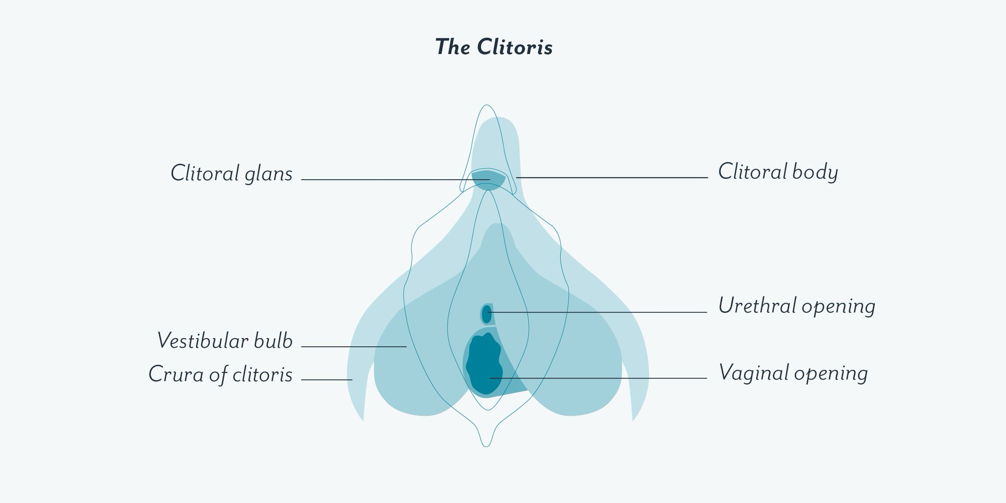 Clue On Twitter The Clitoris Is Not Just The Part Of Your Vulva That Feels Like A Tiny Button The Clitoris Is Composed Of Multiple Parts The Glans