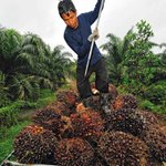 Image for the Tweet beginning: 'Palm oil is surely one