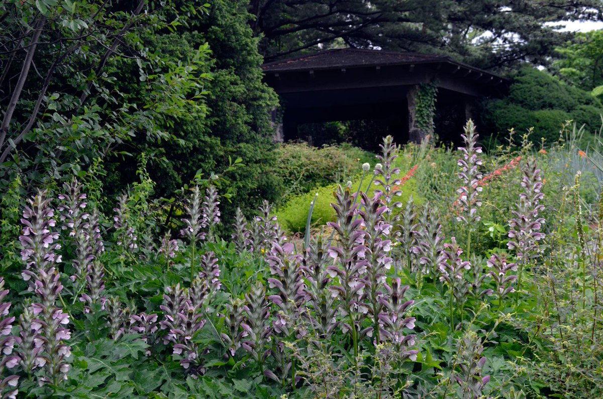 Wave Hill On Twitter Our Plantoftheweek Bears Breeches