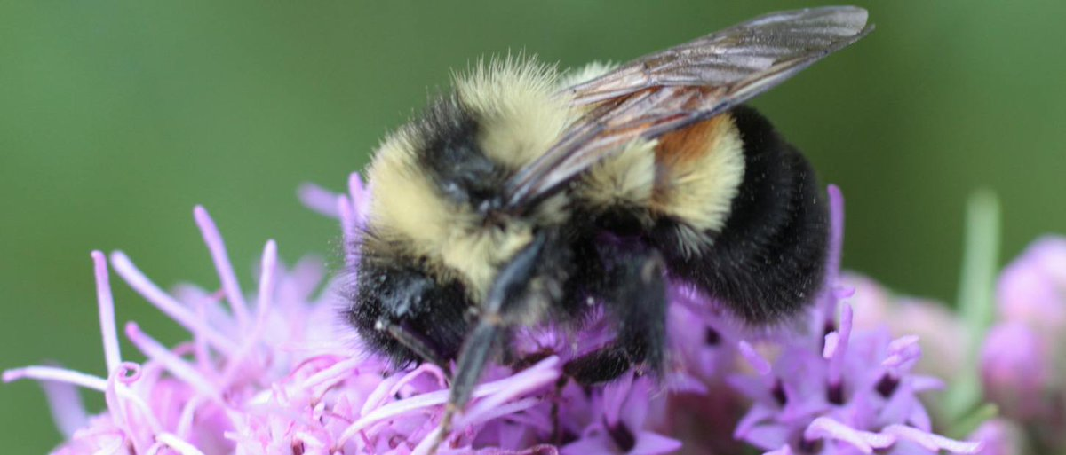 Bumblebees Are Now An Endangered Species - https://t.co/85Ec28IDQZ https://t.co/1N6bG87IPB