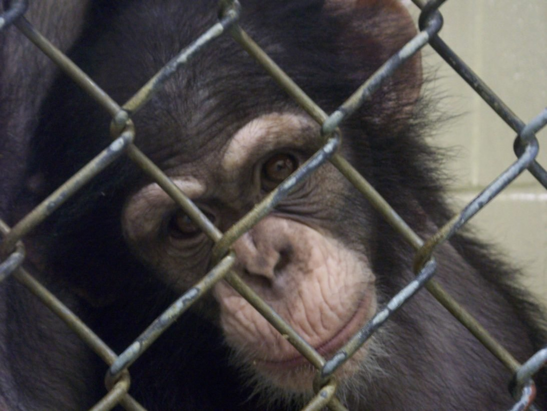 Tell @NIH to send the last of the research chimpanzees to sanctuary: https://t.co/iyc2kyd9El https://t.co/xSbX0f1r0J