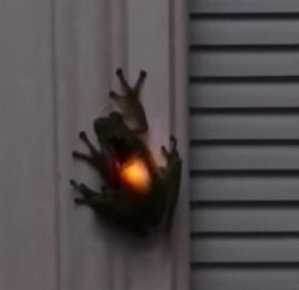 【動物動画ニュース】 ホタルを飲み込んだため「聖なる力を内に秘めた勇者」っぽく光を放つカエルが出没!!! @テネシー州 bq-news.com/animal-movie