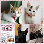Image for the Tweet beginning: #猫#譲渡会#里親募集 #仔猫#成猫#保護猫#東京#東銀座#駅チカ #猫の未来とびら