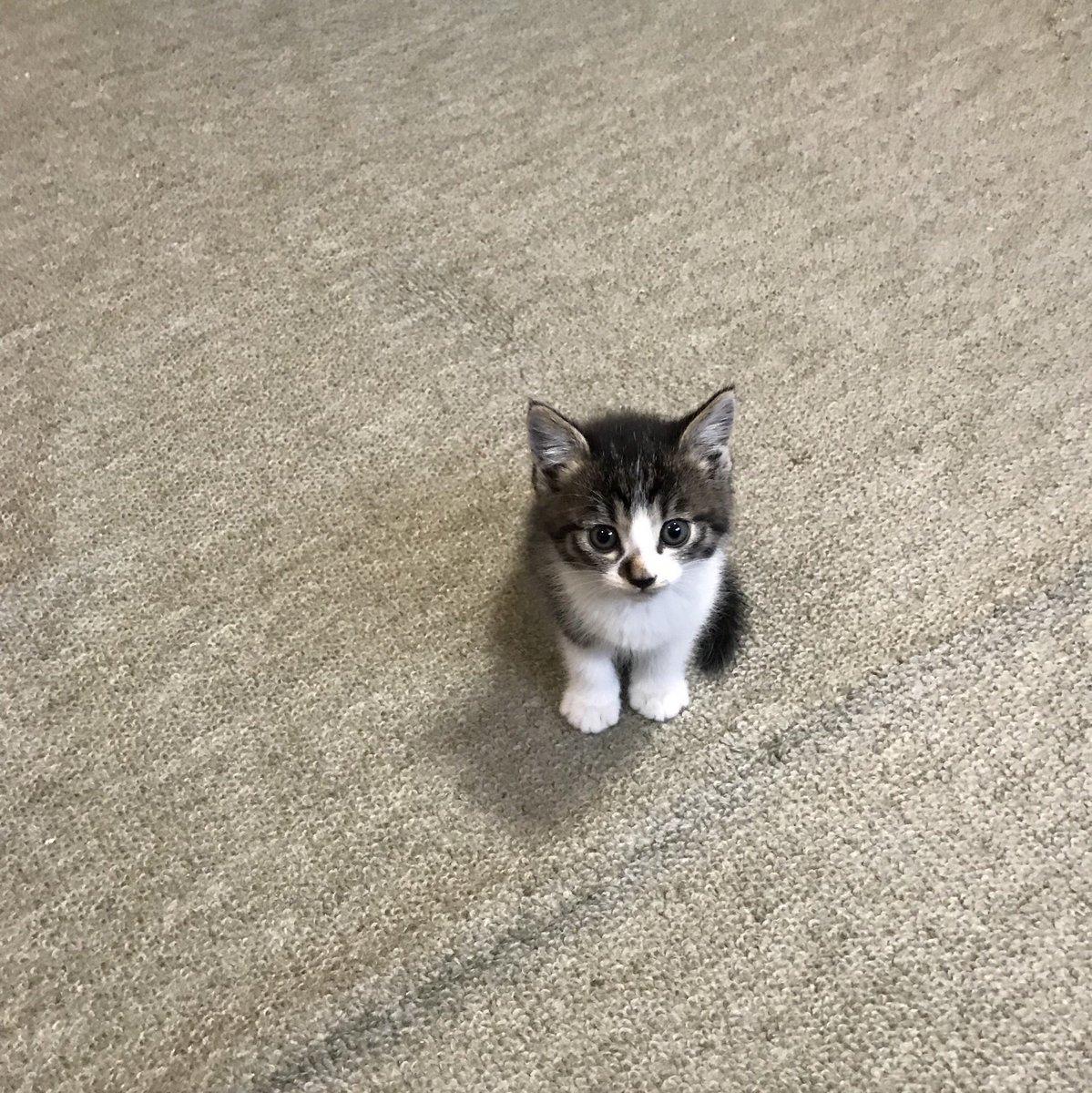 最近上司が子猫と同伴出勤してくるので幸せな職場です。