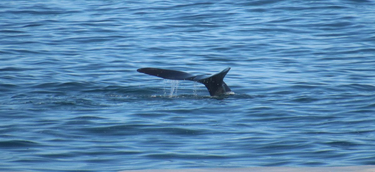 The #Whales are in #Walkerbay. Couple of Southern Right Whales spotted off Gearings Point yesterday @HermanusTourism @WhaleCoastSA @SA_ThruOurEyes @deoudehuize<br>http://pic.twitter.com/dfJmzjz1hA