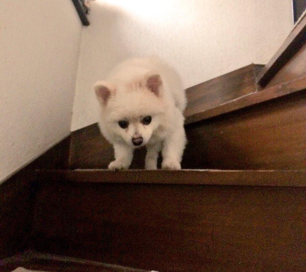 これは「盗んだチーズカツを2階で誰にも邪魔されず堪能したあと、何食わぬ顔で1階に戻ろうとしたらなにもかもを把握した母が階段の下で待ち構えていたので降りられなくなったポメラニアン」です