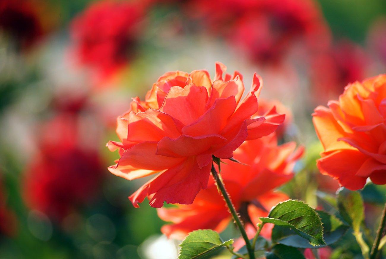 мультфильм день розы в лучах солнца картинки нужно ничего снимать