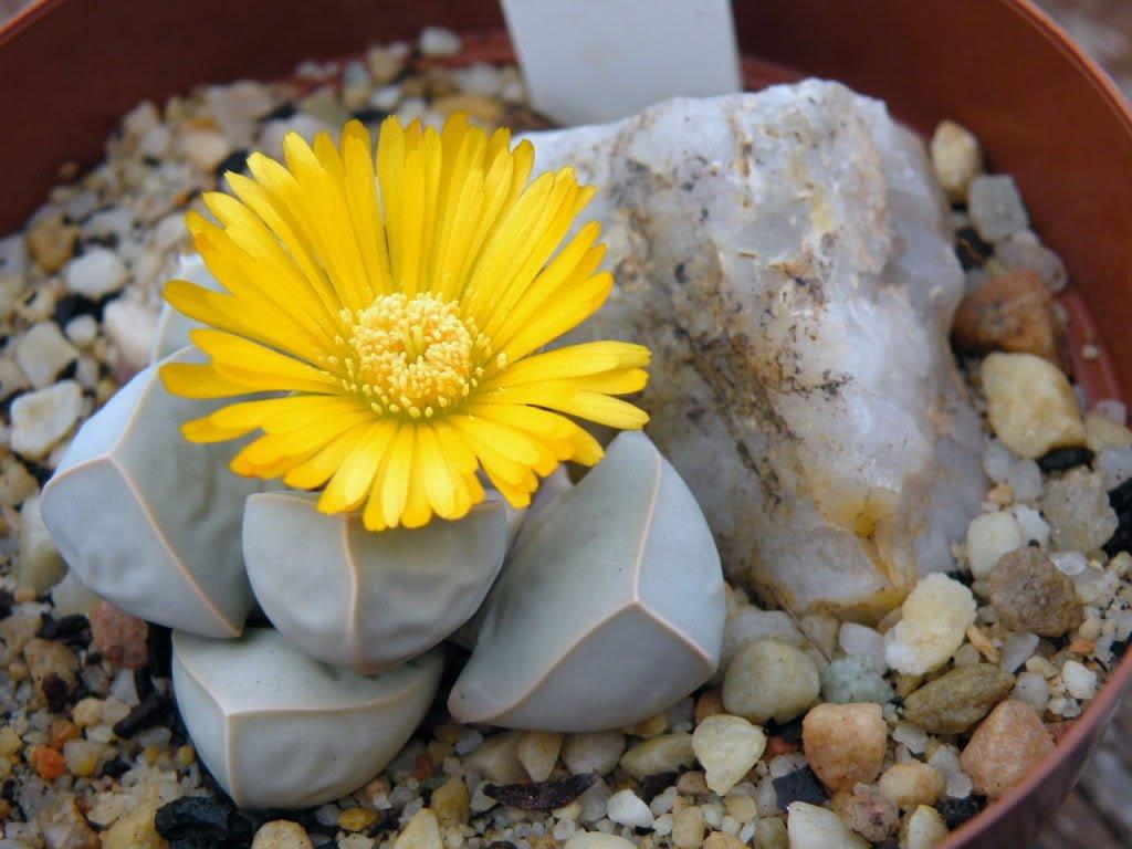 【魔玉】 海外では『ラピダリア・マーガレッタ』と呼ばれている花。 石にしか見えない外見をしておりサボテンの仲間だそうです。