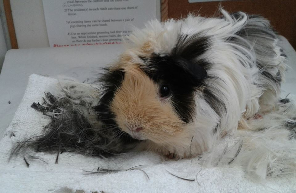 April Lodge Guinea Pig Rescue On Twitter Today We Had 2 Calls