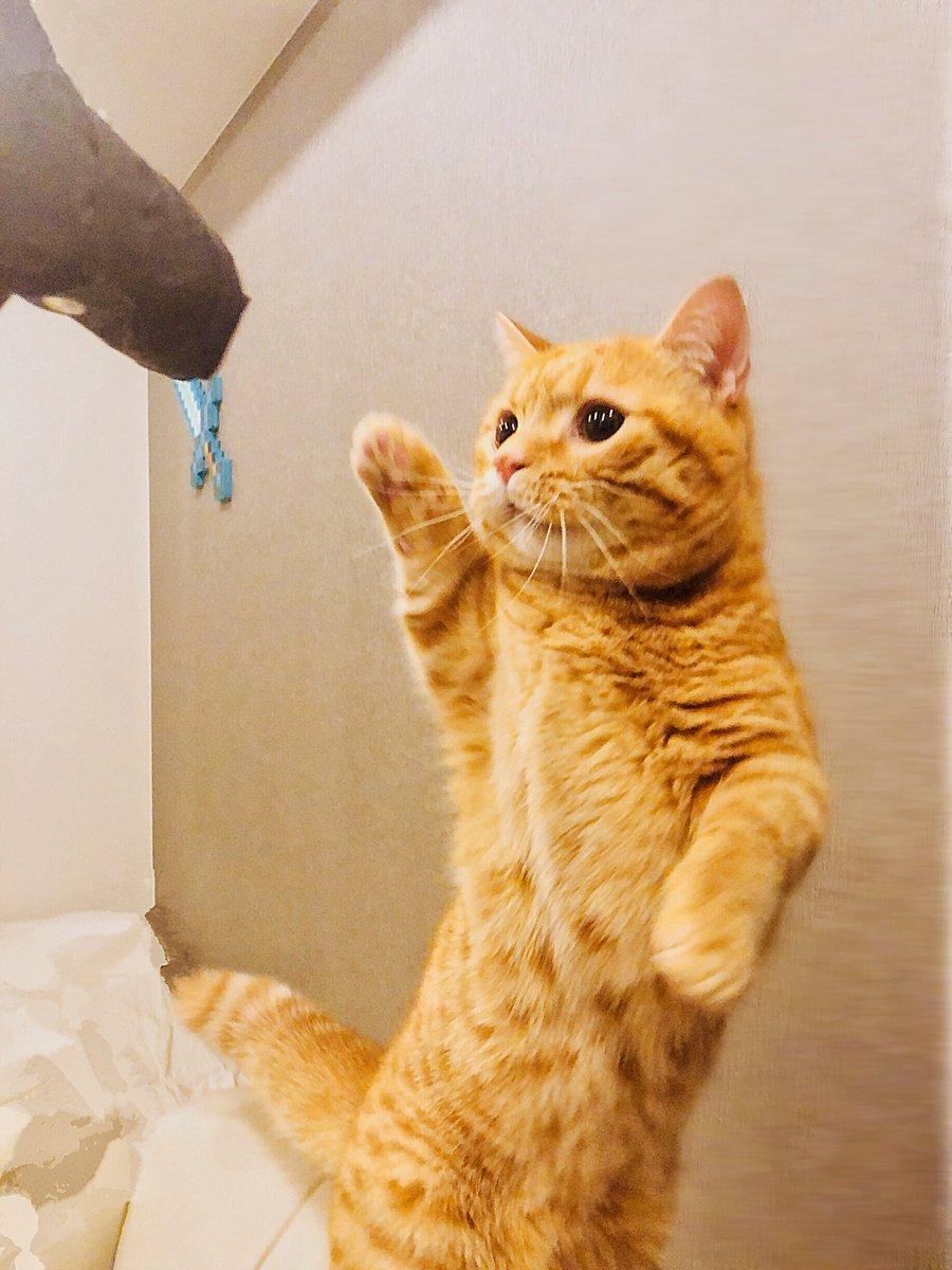 折り畳み傘に興奮しパンチしてその反動でビビりまくるうちの猫です