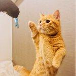 折りたたみ傘に興奮→ネコパンチ→その反動でビビりまくる猫wかわいすぎw