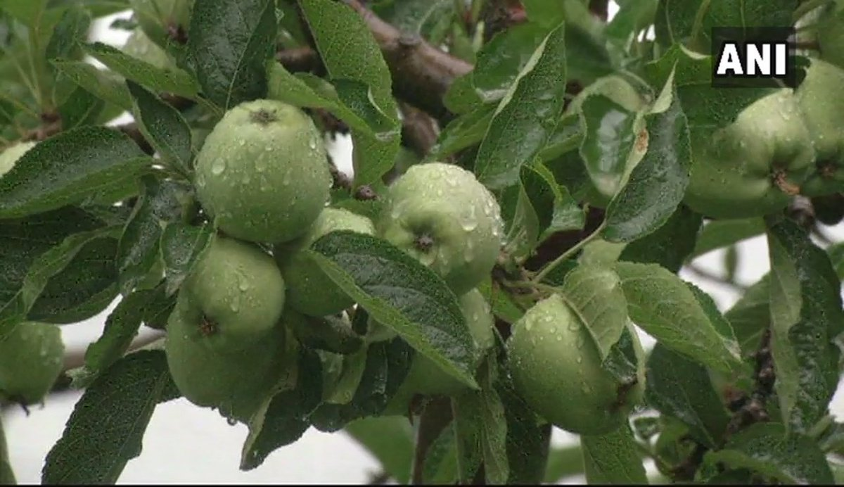 Ani On Twitter Shimla Apple Cultivators Now Use Anti Hail